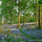 woodlands Light bluebells
