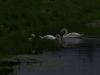 swanfamily