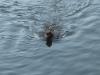 monkeyswim