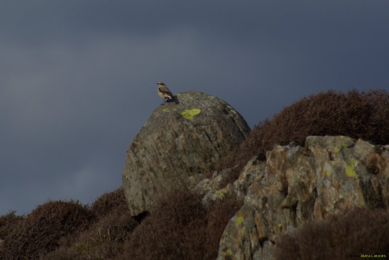 wheatear bird