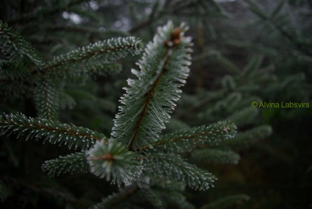 frostbranch