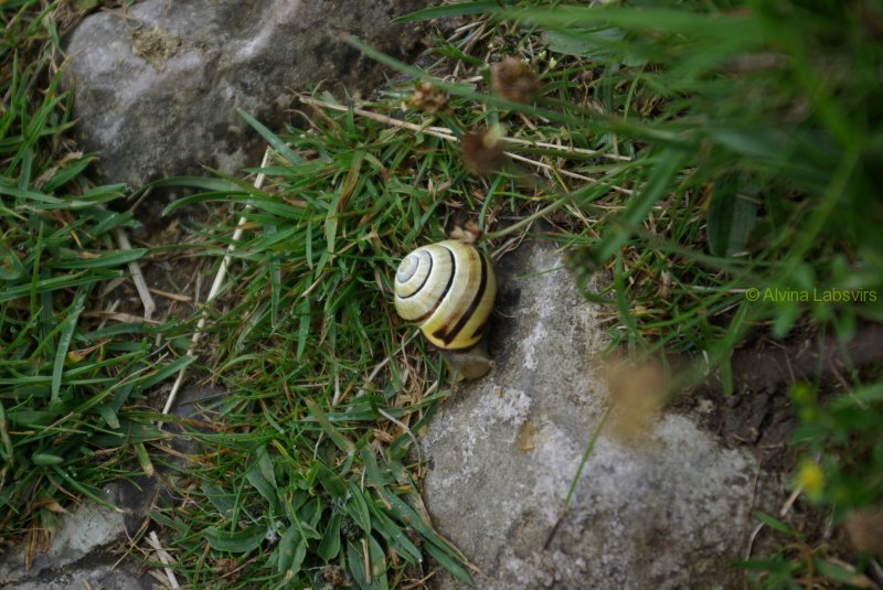 yellowsnail