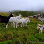 Goats at Bovine