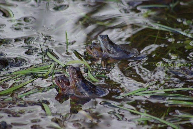 frogs-4