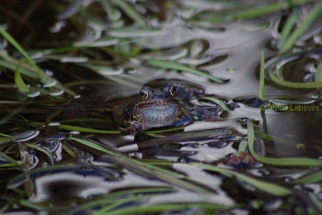 frogs-6