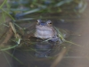 frogs-6-copy