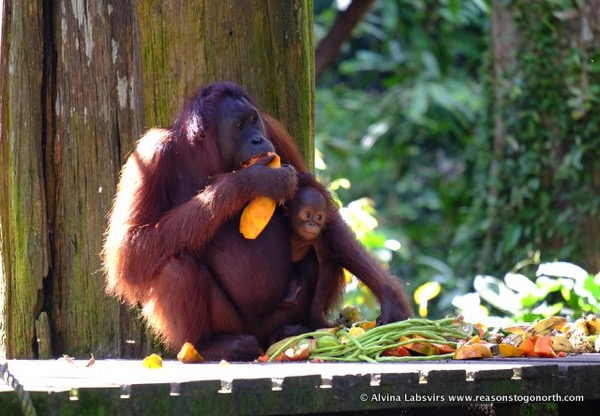 mother and by Orangutan