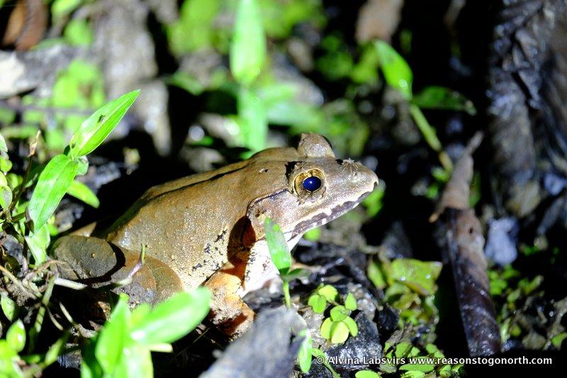 FrogSpider 001