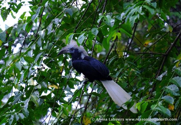 Whitecrownedhornbill