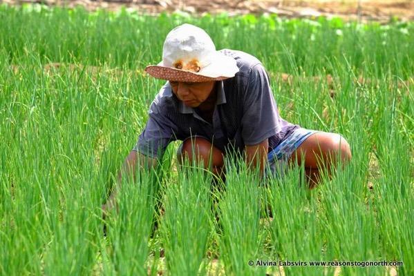 Rice picking