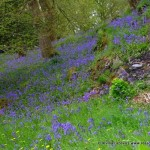 Bluebell Woods – Witherslack