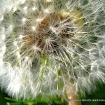 Dandilions – a Picture or Three