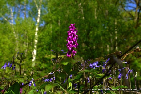 OrchidBells