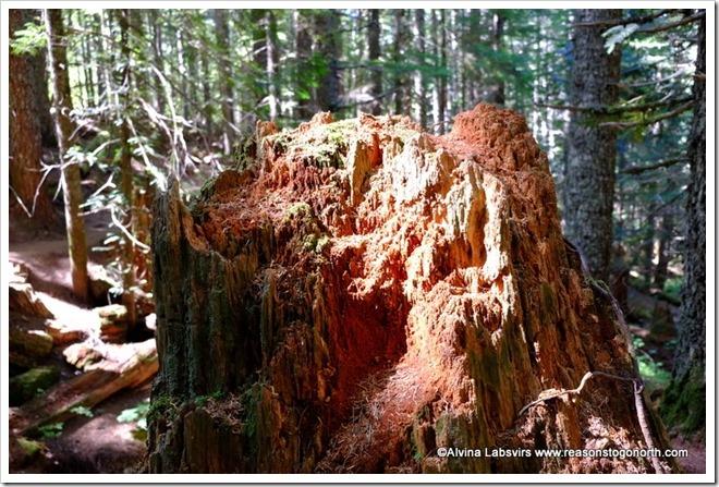 Redwood stump