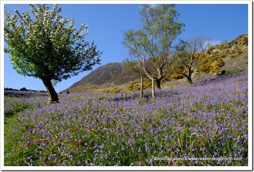 Bluebells in Rannerdale