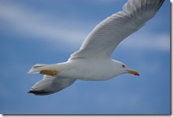 Gull2