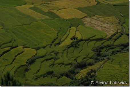 paddyfields