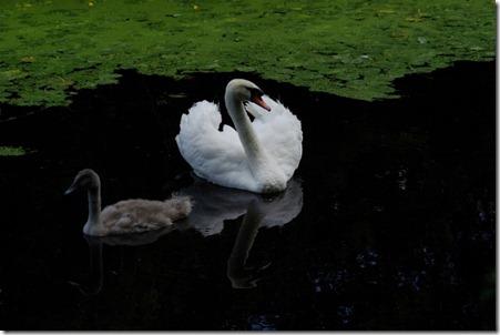 swan Cumbria